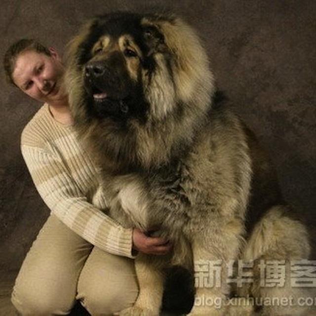 Big Tibetan Mastiff.jpg